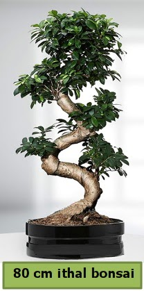 80 cm özel saksıda bonsai bitkisi  Erzincan çiçek online çiçek siparişi