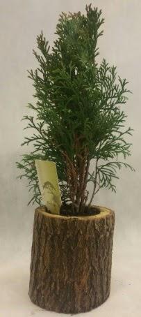 SINIRLI STOK Selvi Bonsai Doğal kütükte  Erzincan uluslararası çiçek gönderme