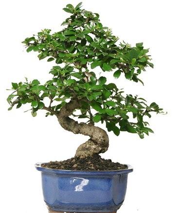 21 ile 25 cm arası özel S bonsai japon ağacı  Erzincan çiçek online çiçek siparişi