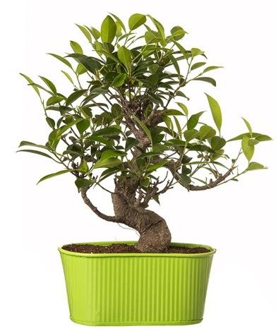 Ficus S gövdeli muhteşem bonsai  Erzincan online çiçekçi , çiçek siparişi