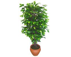 Ficus Benjamin 1,50 cm   Erzincan hediye çiçek yolla