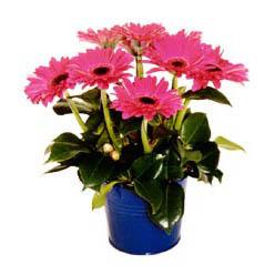 vazo içerisinde gerbera çiçekleri   Erzincan çiçek gönderme