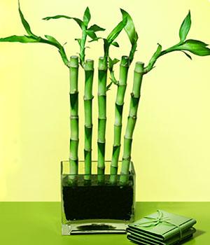 Erzincan hediye çiçek yolla  Good Harmony Lucky Bamboo camda