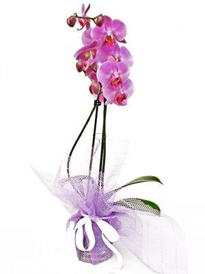 Erzincan hediye çiçek yolla  Kaliteli ithal saksida orkide