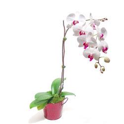 Erzincan hediye sevgilime hediye çiçek  Saksida orkide
