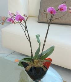 Erzincan yurtiçi ve yurtdışı çiçek siparişi  tek dal ikili orkide saksi çiçegi
