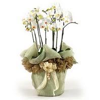 Erzincan online çiçekçi , çiçek siparişi  3 dal orkide , saksi çiçegi , 3 kök orkide