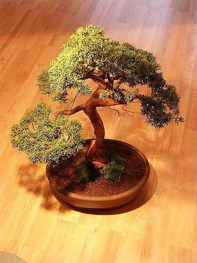 ithal bonsai saksi çiçegi  Erzincan çiçekçiler