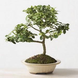 ithal bonsai saksi çiçegi  Erzincan çiçek siparişi sitesi