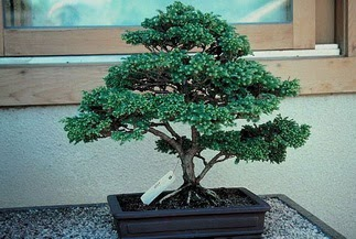ithal bonsai saksi çiçegi  Erzincan ucuz çiçek gönder