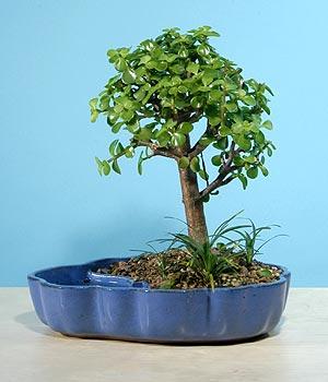 ithal bonsai saksi çiçegi  Erzincan İnternetten çiçek siparişi