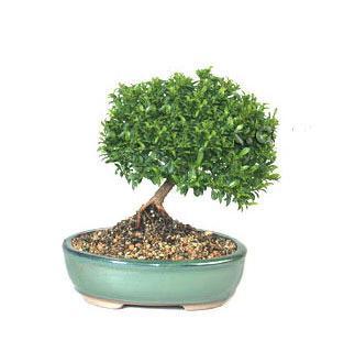 ithal bonsai saksi çiçegi  Erzincan çiçek satışı