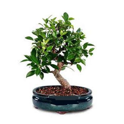 ithal bonsai saksi çiçegi  Erzincan online çiçekçi , çiçek siparişi