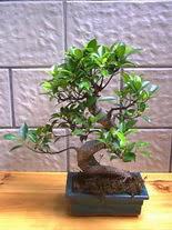 ithal bonsai saksi çiçegi  Erzincan çiçekçi mağazası