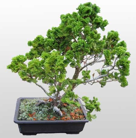 ithal bonsai saksi çiçegi  Erzincan uluslararası çiçek gönderme