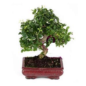 ithal bonsai saksi çiçegi  Erzincan hediye çiçek yolla