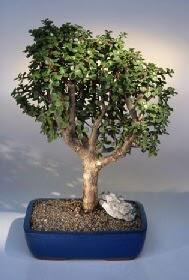 Erzincan hediye sevgilime hediye çiçek  ithal bonsai saksi çiçegi  Erzincan İnternetten çiçek siparişi