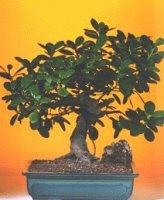 Erzincan çiçek online çiçek siparişi  ithal bonsai saksi çiçegi  Erzincan çiçek gönderme sitemiz güvenlidir