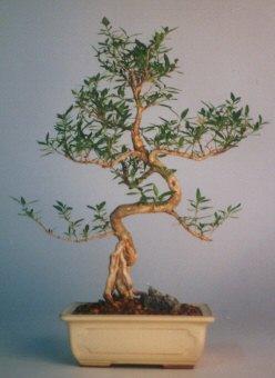 Erzincan çiçek servisi , çiçekçi adresleri  ithal bonsai saksi çiçegi  Erzincan çiçek yolla