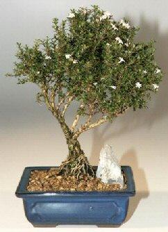Erzincan çiçek mağazası , çiçekçi adresleri  ithal bonsai saksi çiçegi  Erzincan çiçek gönderme