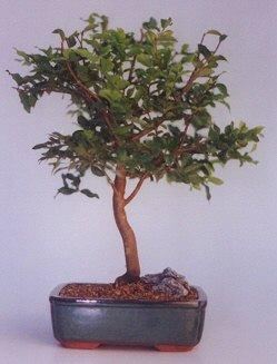 Erzincan kaliteli taze ve ucuz çiçekler  ithal bonsai saksi çiçegi  Erzincan hediye çiçek yolla