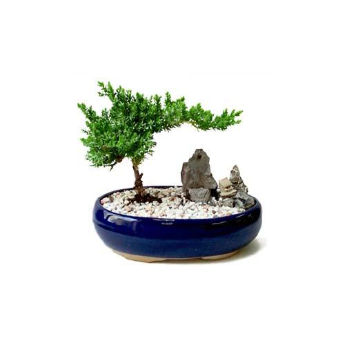 ithal bonsai saksi çiçegi  Erzincan hediye sevgilime hediye çiçek