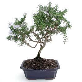 ithal bonsai saksi çiçegi  Erzincan çiçek online çiçek siparişi