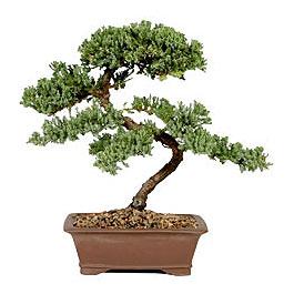 ithal bonsai saksi çiçegi  Erzincan 14 şubat sevgililer günü çiçek