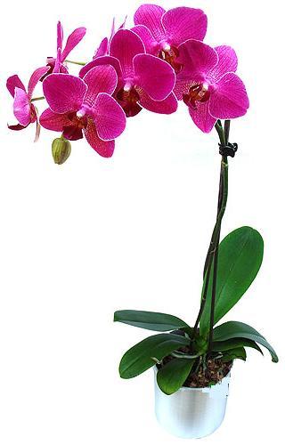 Erzincan yurtiçi ve yurtdışı çiçek siparişi  saksi orkide çiçegi