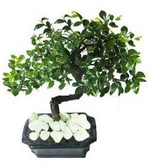 9 yasinda Bonsai agaci  Erzincan online çiçek gönderme sipariş