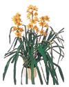 Erzincan İnternetten çiçek siparişi  Orchiede ithal büyük boy saksi