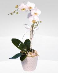 1 dallı orkide saksı çiçeği  Erzincan cicek , cicekci