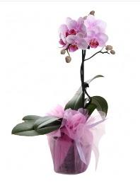 1 dal pembe orkide saksı çiçeği  Erzincan internetten çiçek siparişi