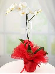 1 dal beyaz orkide saksı çiçeği  Erzincan online çiçek gönderme sipariş