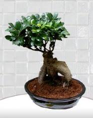 saksı çiçeği japon ağacı bonsai  Erzincan internetten çiçek siparişi