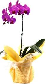 Erzincan online çiçekçi , çiçek siparişi  Tek dal mor orkide saksı çiçeği