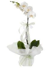 1 dal beyaz orkide çiçeği  Erzincan çiçek yolla