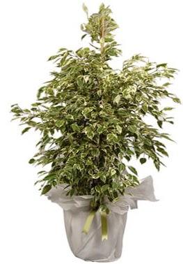 Orta boy alaca benjamin bitkisi  Erzincan çiçek yolla , çiçek gönder , çiçekçi