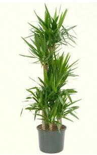 7 li yucca saksı bitkisi  Erzincan internetten çiçek satışı