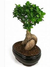 Bonsai saksı bitkisi japon ağacı  Erzincan online çiçekçi , çiçek siparişi