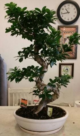 100 cm yüksekliğinde dev bonsai japon ağacı  Erzincan uluslararası çiçek gönderme