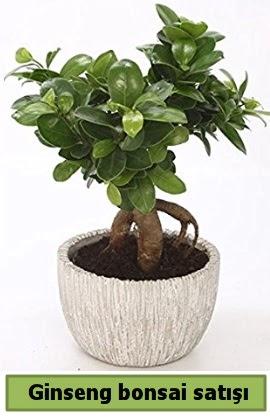 Ginseng bonsai japon ağacı satışı  Erzincan çiçek online çiçek siparişi