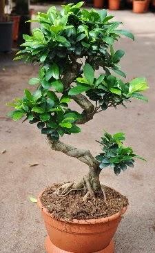 Orta boy bonsai saksı bitkisi  Erzincan çiçek gönderme sitemiz güvenlidir