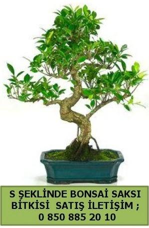 İthal S şeklinde dal eğriliği bonsai satışı  Erzincan hediye sevgilime hediye çiçek