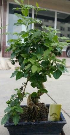 Bonsai japon ağacı saksı bitkisi  Erzincan çiçek yolla