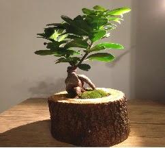 Doğal kütükte Bonsai japon ağacı satışı  Erzincan çiçek yolla , çiçek gönder , çiçekçi