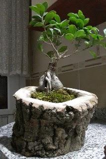 Ahşap kütük içerisinde ginseng bonsai  Erzincan çiçek gönderme sitemiz güvenlidir