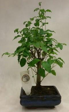 Minyatür bonsai japon ağacı satışı  Erzincan çiçek online çiçek siparişi