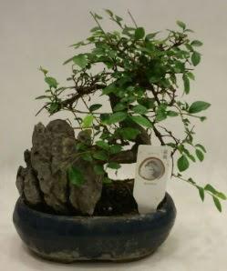 İthal 1.ci kalite bonsai japon ağacı  Erzincan çiçek servisi , çiçekçi adresleri