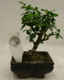 Küçük minyatür bonsai japon ağacı  Erzincan hediye sevgilime hediye çiçek
